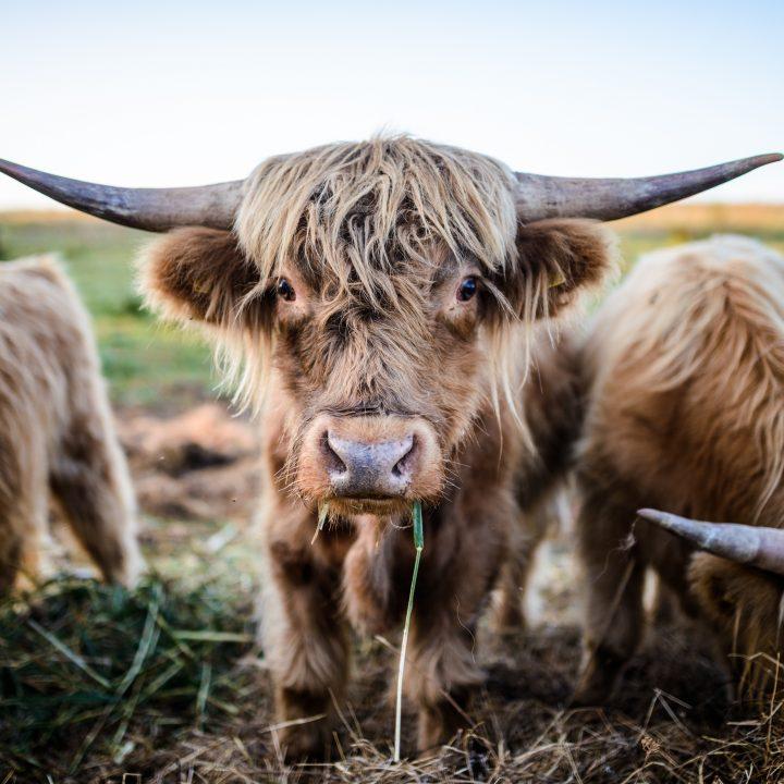 krowy dwor debogora