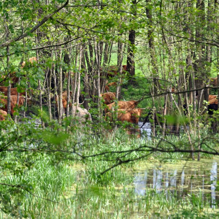 krowy las dwor debogora
