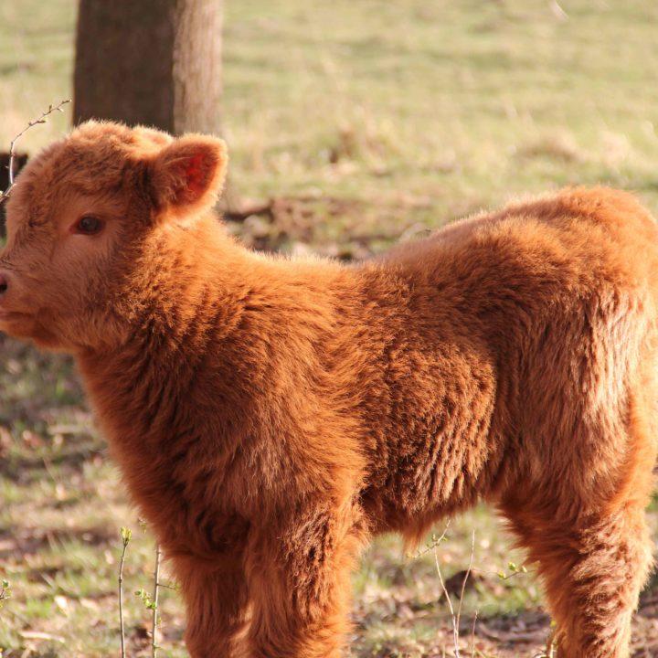 cielak-highland-cattle-dwor-debogora