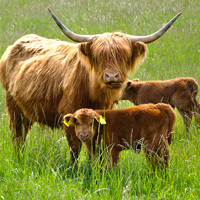 highland-cattle-dwor-debogora