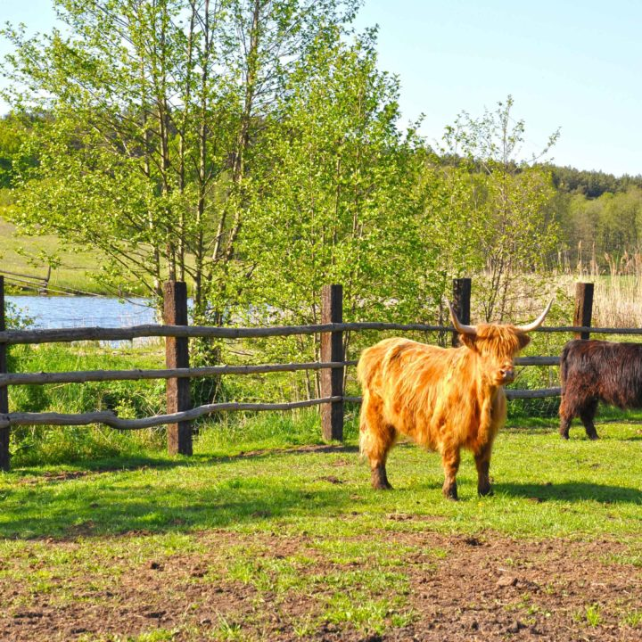 krowy-highland-cattle-dwor-debogora